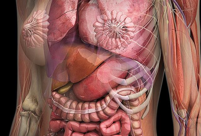 картинки органов девушки парней