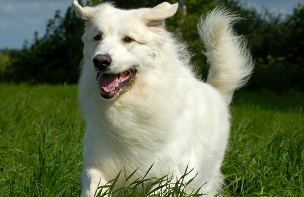 long haired dog breeds main1