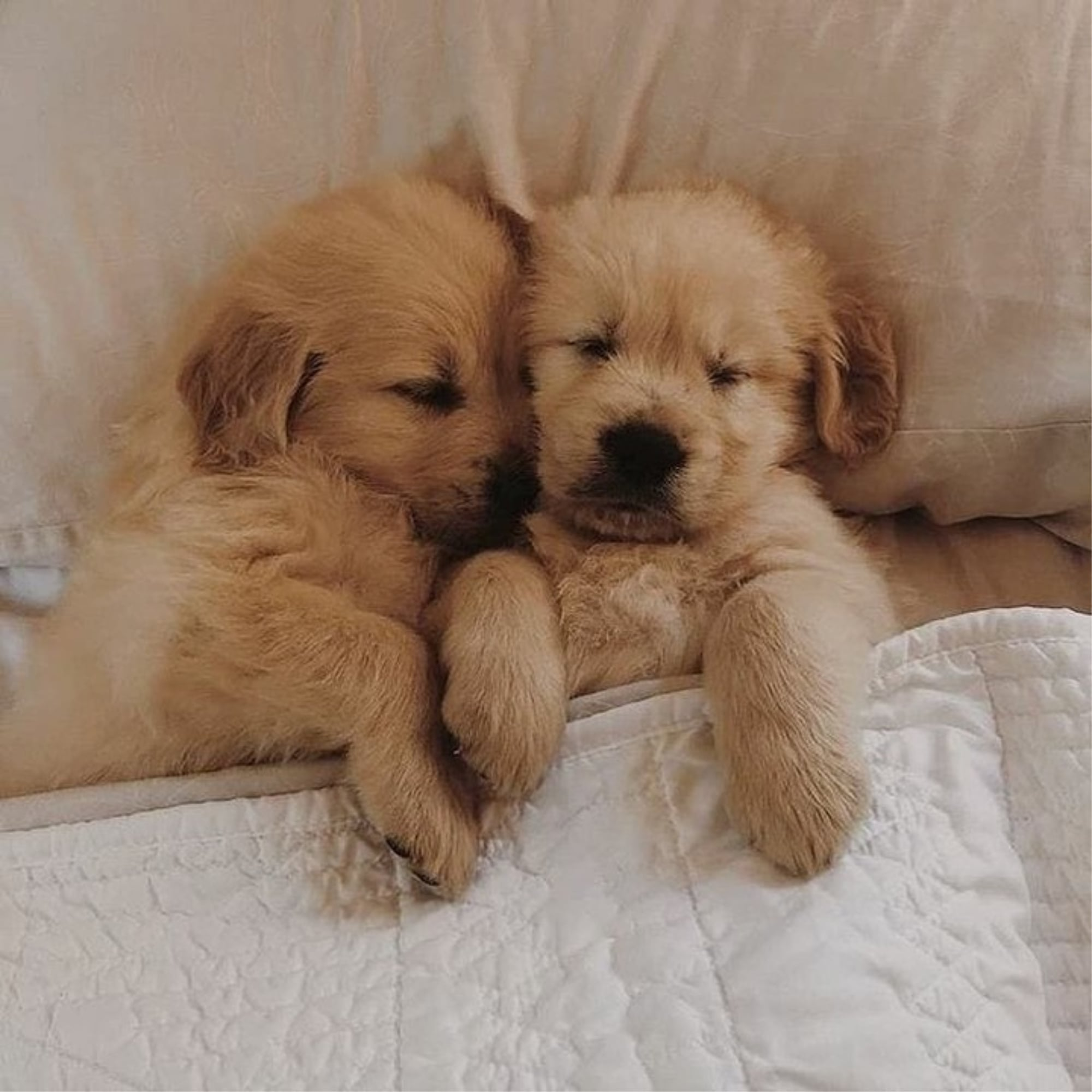 photos golden retriever puppies