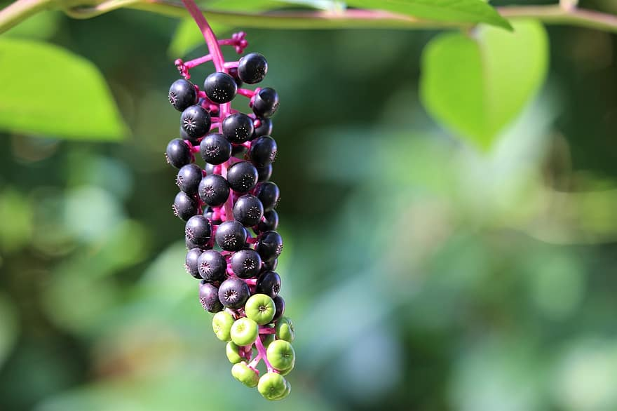 pokeweed phytolacca americana plant toxic green and black berries summer nature outdoor